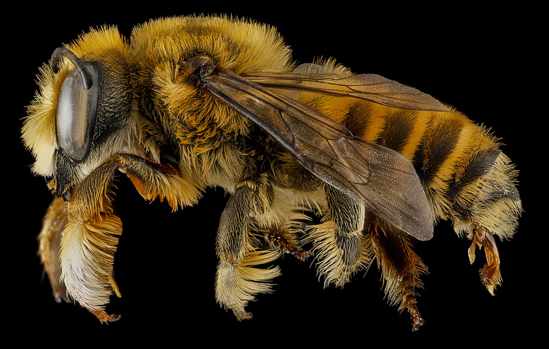 Sam Dorege at the USGS Bee Inventory and Monitoring Lab has a great display of photos of bees up close. Well worth a look. http://www.thisiscolossal.com/2013/12/bee-portraits-sam-droege/